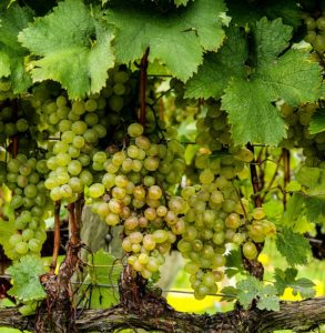grappoli d'uva e vino